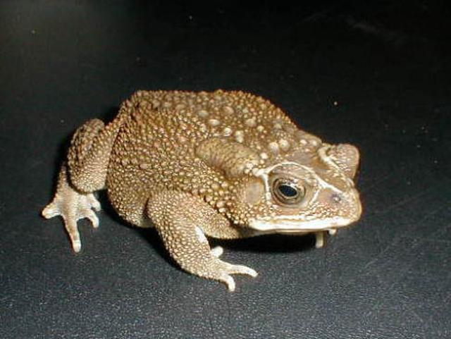 ヘリグロヒキガエル