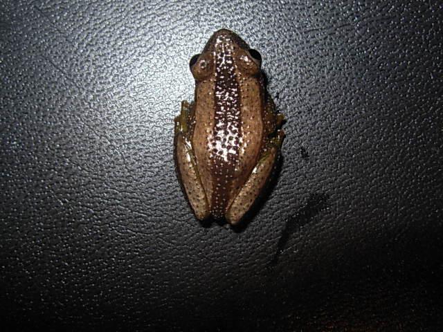 ヒガシオオバナナガエル