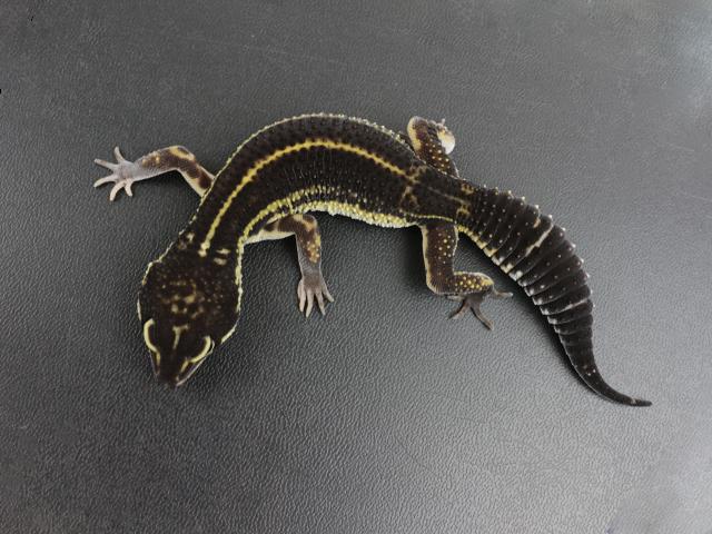 レオパ 爬虫類
