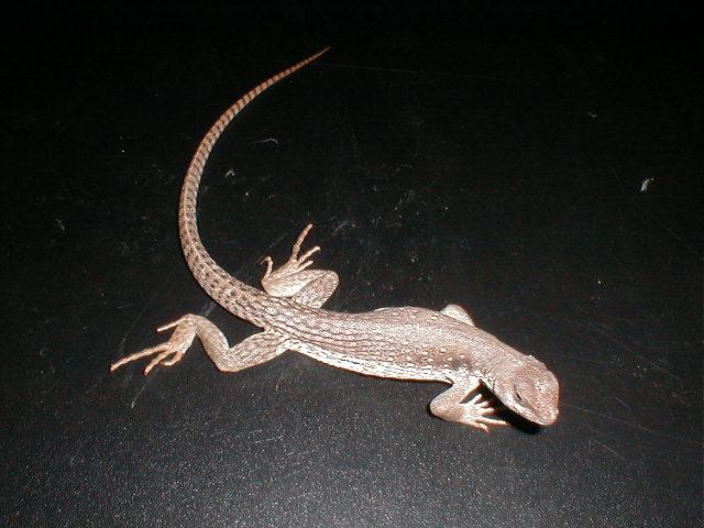 サバクイグアナ